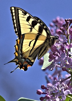 tiger-swallowtail butterfly